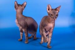 Die Sphinxkatze auf einem blauen Hintergrund stockfotografie