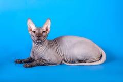 Die Sphynx-Katze auf einem blauen Hintergrund stockbild