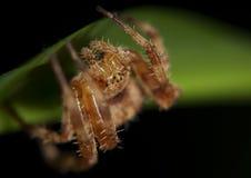 Die Spinne stockfoto