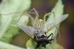 Die Spinne, die Fangfliege ist, essen lizenzfreie stockfotos