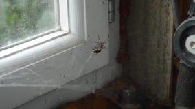 Die Spinne und die Fliege im Netz stock video