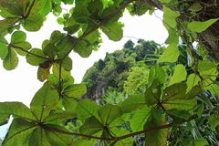 Die Spitze des Berges kann durch die Baumkrone gesehen werden Stockbilder