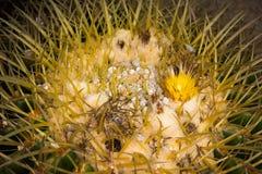 Die Spitze von echinocactus Kakteen Stockbilder