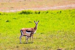 Die Springbockantilope mit einem Kalb stockfotos