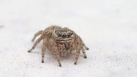 Die springende Spinnenaufwartung Browns, die wenig sind und Erlöschen des Rahmens stock footage