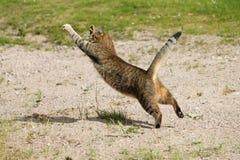 Die springende und jagende Katze fliegt stockfoto