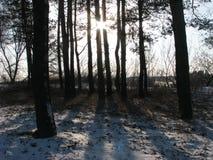 Die Stämme der Bäume Lizenzfreie Stockfotografie