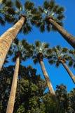 Die Stämme und die Kronen von Bäumen auf einem Hintergrund des blauen Himmels Stockfoto