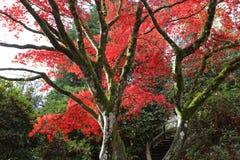 Die Stämme von Bäumen auf einem Hintergrund von roten Blättern des Herbstes Stockbilder