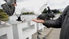 Die Stadt Tauben essen von den Händen stock video