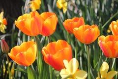 Die stehenden Tulpen stolze, tiefe orange Farbe blüht in einem Flecken stockbilder