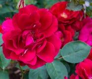 Die Steinplatte Rose Lizenzfreies Stockbild