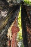 Die Stellung innerhalb brennen riesigen Rotholzbaum und auf vermindernde Perspektive und heraus den grünen Wald oben untersuchen  stockfoto