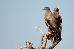 Die Steppe Eagle Pair BIKANER Lizenzfreie Stockfotos