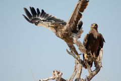 Die Steppe Eagle Taking weg von BIKANER Lizenzfreie Stockfotografie