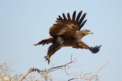 Die Steppe Eagle Taking weg von BIKANER Lizenzfreie Stockbilder