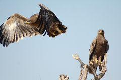 Die Steppe Eagle Taking weg von BIKANER RAJASTHAN Stockfotos