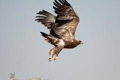 Die Steppe EagleTaking weg VOM JORBEER-RAUBVOGEL-PARK RAJASTHAN Lizenzfreie Stockfotografie