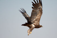 Die Steppe EagleTaking weg VOM JORBEER-RAUBVOGEL-PARK RAJASTHAN Lizenzfreie Stockfotos