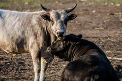 Die Stiere Stockfotografie