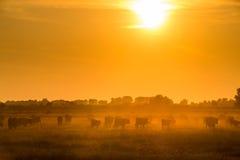 Die Stiere, die über das Feld angesichts der Sonne laufen stockfotos