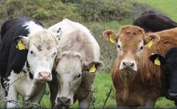 Die Stiere im Stall stockbilder