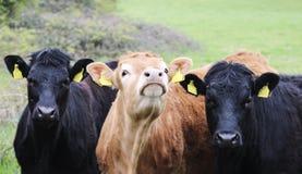 Die Stiere im Stall lizenzfreies stockbild