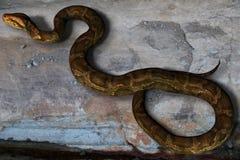 Die stillstehende Pythonschlange (mit Ausschnitts-Pfad) Lizenzfreies Stockbild