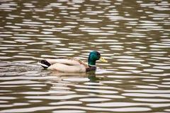 Die Stockente Anekdoten platyrhynchos, sich hin- und herbewegende männliche Ente auf der Oberfläche des Wassers mit Kräuselung Stockfotos
