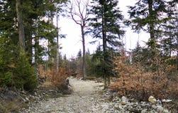 Die Straße in einem Kieferwald stockbilder