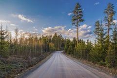 Die Straße im Wald mit jungen Fichten lizenzfreies stockfoto