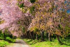 Die Straße und die Zeile der blühenden Blumenbäume des Rosas Stockbilder