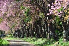 Die Straße und die Zeile des Kirschblütenbaums Stockfoto