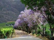 Die Straße wine Land zeichnete durch Jacarandabäume in Südafrika Stockfoto