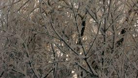 Die Strahlen der Sonne blitzten in den schneebedeckten Niederlassungen eines Baums stock video