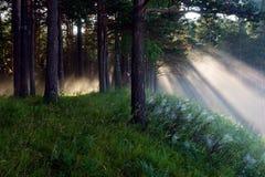 Die Strahlen der Sonne in einem Kiefernwald stockfotografie