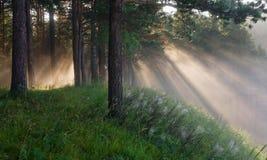 Die Strahlen der Sonne in einem Kiefernwald lizenzfreies stockbild