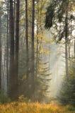 Die Strahlen der Sonne in einem nebelhaften gezierten Wald Lizenzfreie Stockfotografie