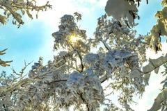 Die Strahlen der Sonne machen ihre Weise durch die schneebedeckten Blätter Lizenzfreies Stockfoto