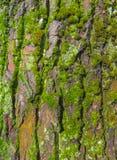 Die Struktur der Hintergrundbaumrinde mit Moos Lizenzfreies Stockbild