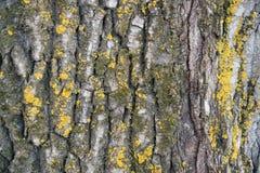 Die Struktur der Pappelbarke - Beschaffenheit Stockbilder