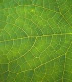 Die Struktur des grünen Blattes. Lizenzfreie Stockfotos