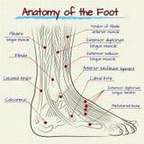 Die Struktur des menschlichen Fußes stock abbildung