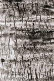 Die Struktur des Stammes einer Palme lizenzfreie stockfotografie