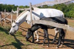 Die Stute und ihr Fohlen, die an der Hürde weiden lassen, zäunen ländliche Szene ein Lizenzfreie Stockfotos