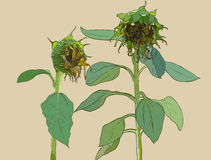 Die Sunflower. Vector set of hand drawn sunflowers and leaves ,. Vintage style Royalty Free Stock Photo