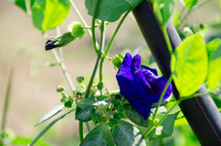 Die super wunderbare Spitze der Schmetterlingserbse entlang dem Superguten tag Lizenzfreies Stockfoto