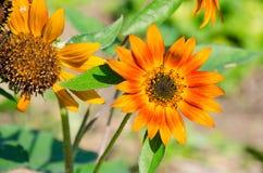 Die super wunderbare Spitze der Sonnenblume entlang dem Superguten tag Lizenzfreie Stockfotografie