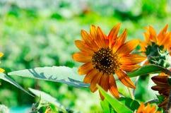 Die super wunderbare Spitze der Sonnenblume entlang dem Superguten tag Lizenzfreie Stockbilder