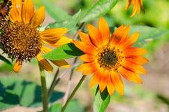 Die super wunderbare Spitze der Sonnenblume entlang dem Superguten tag Stockfotos